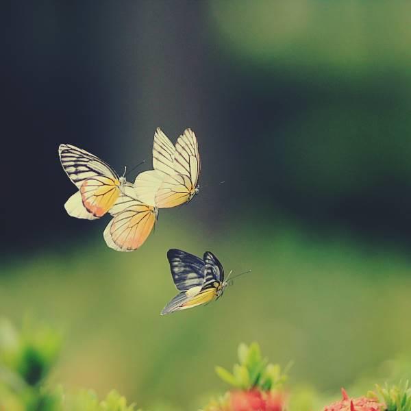 Giải mã điềm báo giấc mơ thấy bướm bay vào nhà là gì? Đánh số mấy
