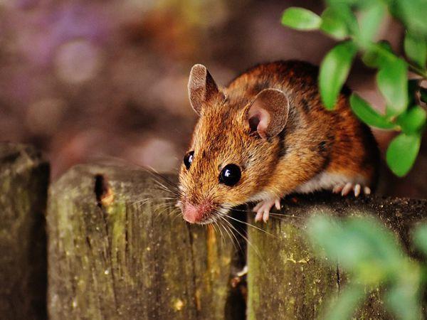 Mơ thấy chuột là điềm báo tốt hay xấu? Chuột là số mấy?