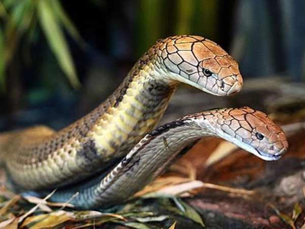 Nằm mơ thấy 2 con rắn hổ mang có ý nghĩa gì đánh con gì dễ trúng
