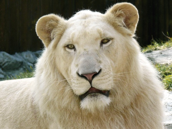 Nằm mơ thấy sư tử có ý nghĩa gì có điềm báo gì tốt hay xấu